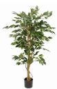 Ficus Benjamina grün, 150cm, in Kunststofftopf,...